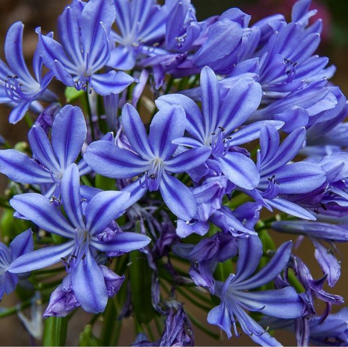 Agapanthus Sweet Surprise